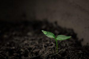 Marijuana plant seedling